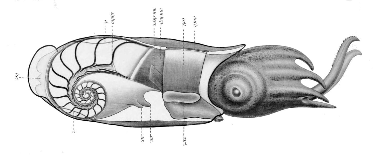 トグロコウイカの殻の位置を示した断面図。