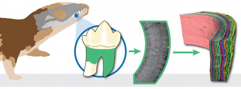 歯の年輪から寿命がわかる
