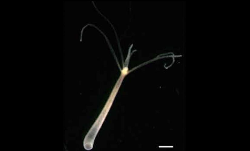 ヒドラはサンゴやクラゲの仲間。脳が無いヒドラも眠ることが判明した。神経の睡眠システムは脳が誕生するより前から存在していたと考えられる