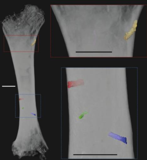 モルガヌコドンの大腿骨