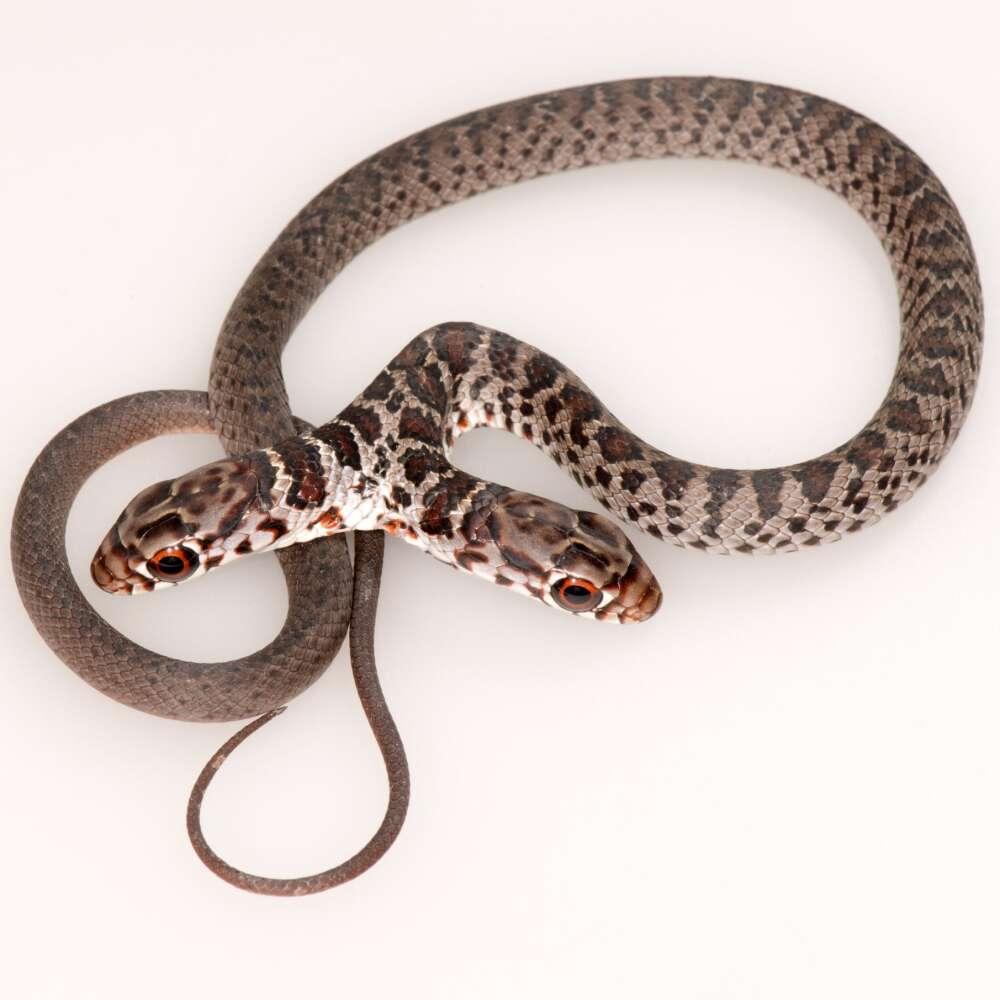 双頭のヘビは「ドス」と命名