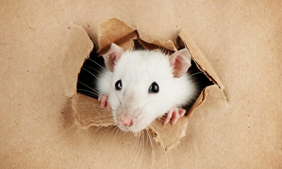 純粋な偶然で電磁場にさらされたマウスがいた