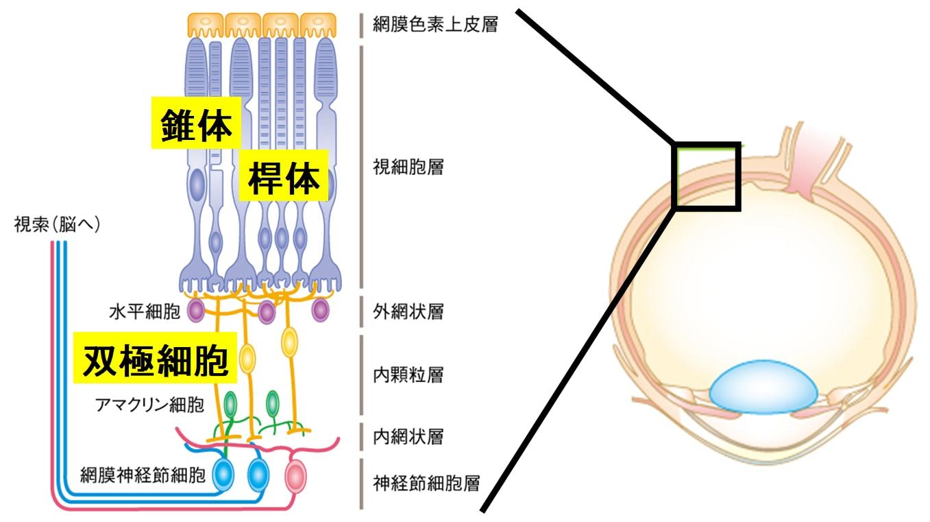 """""""目の遺伝子を書き換える""""ことで盲目マウスの視力回復に成功! 「年内に人間でもテスト開始」の画像 3/5"""