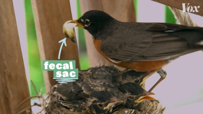 鳥の巣にうんちがないのはなぜ?秘密はヒナの「天然オムツ」にあった