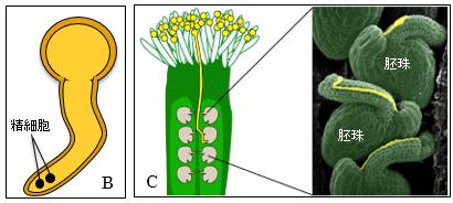 花粉は花粉管を伸ばし、胚珠に精細胞を注入する