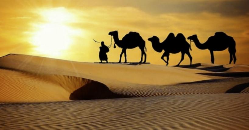 ラクダのコブの中身は「水」じゃない。 砂漠での飲まず食わずに耐えるコブの使い方とは?