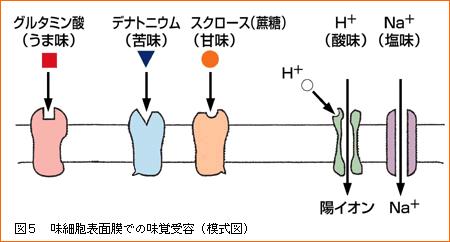 甘味受容体は甘味物質を「甘味信号」に変換する
