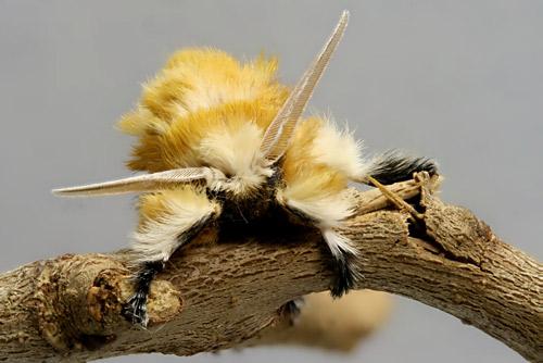 フランネル 成虫 サザン モス 強烈な毒をもつふさふさの毛虫再び。米バージニア州で目撃例が増加