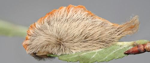 サザン・フランネル・モスの幼虫