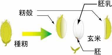 イネの可食部(米粒)は胚乳