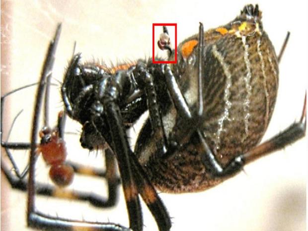 切り離した性器(赤枠)、左に見える小さいのがオス