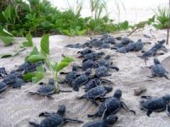 無事に生まれたウミガメの赤ちゃんたち