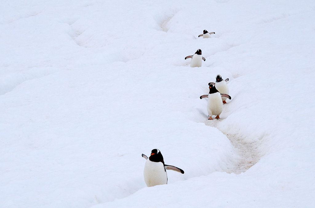 海とコロニーを結ぶジェンツーペンギンたちの小道、ペンギン・ハイウェイ。