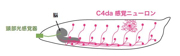 ショウジョウバエ幼虫が青色光(不快刺激)を受容する感覚システム