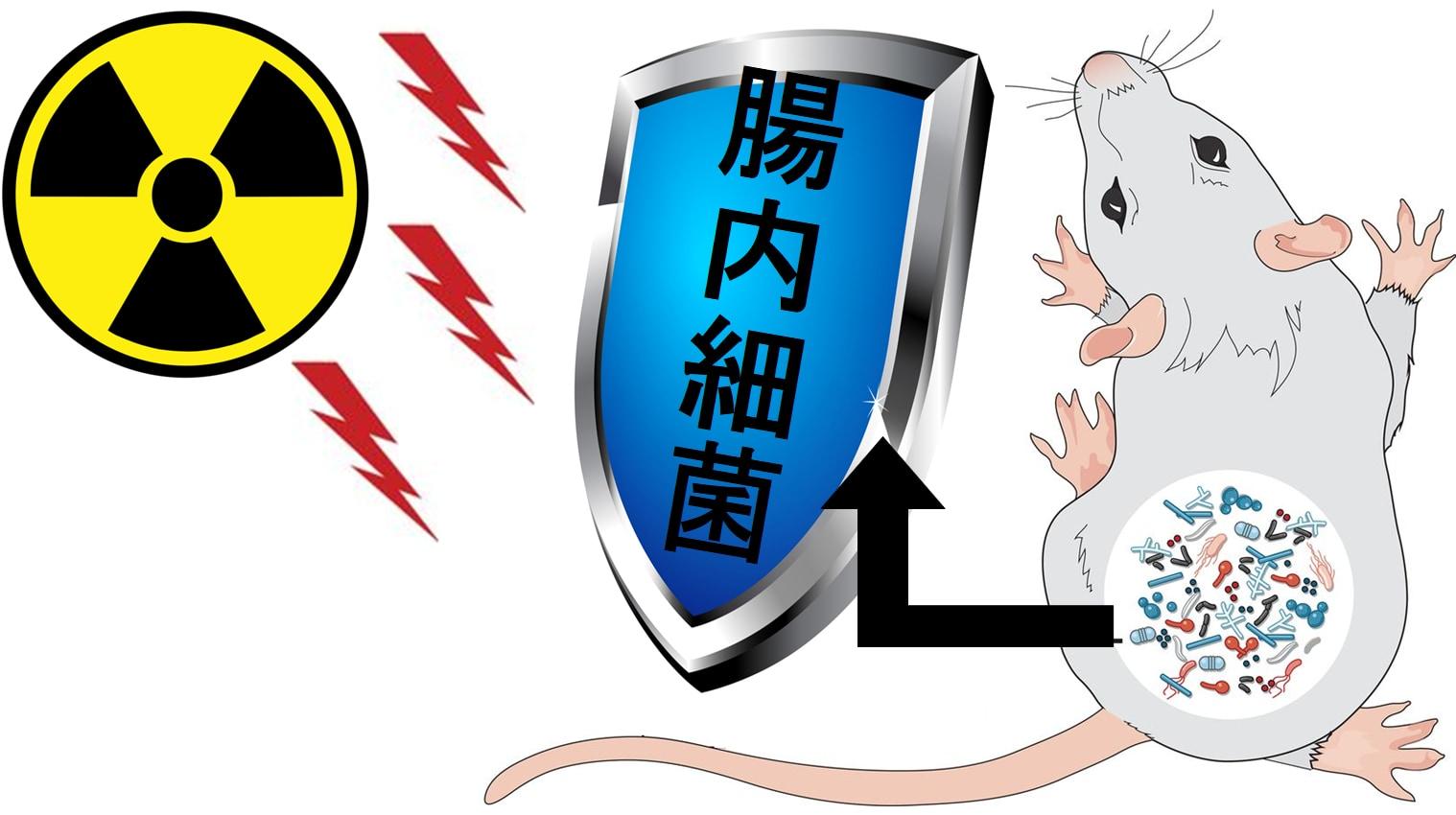 腸内細菌は放射線耐性を授ける