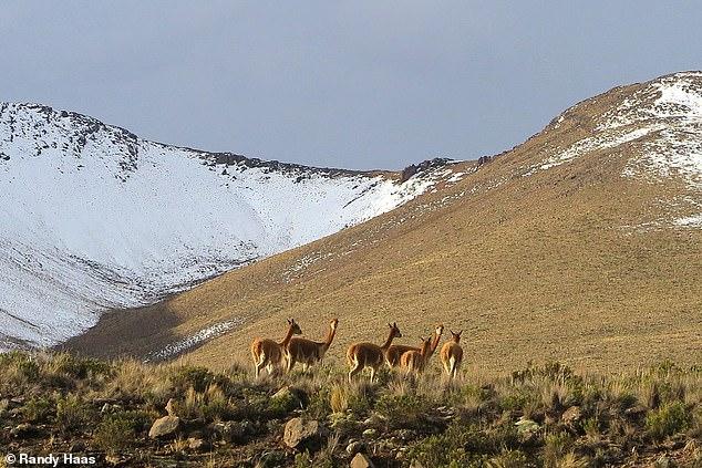 南米原産の動物「ビクーニャ」の群れ
