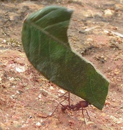 葉っぱを持ち帰るハキリアリ