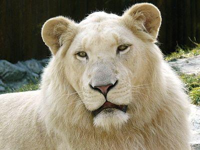 リューシズムのライオン(瞳の色は変化しない)