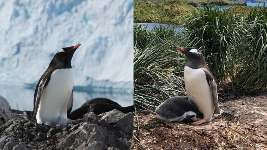 3種類も新種のペンギンが誕生! 科学者が1種類だと思っていたものが実は別々のペンギンだった