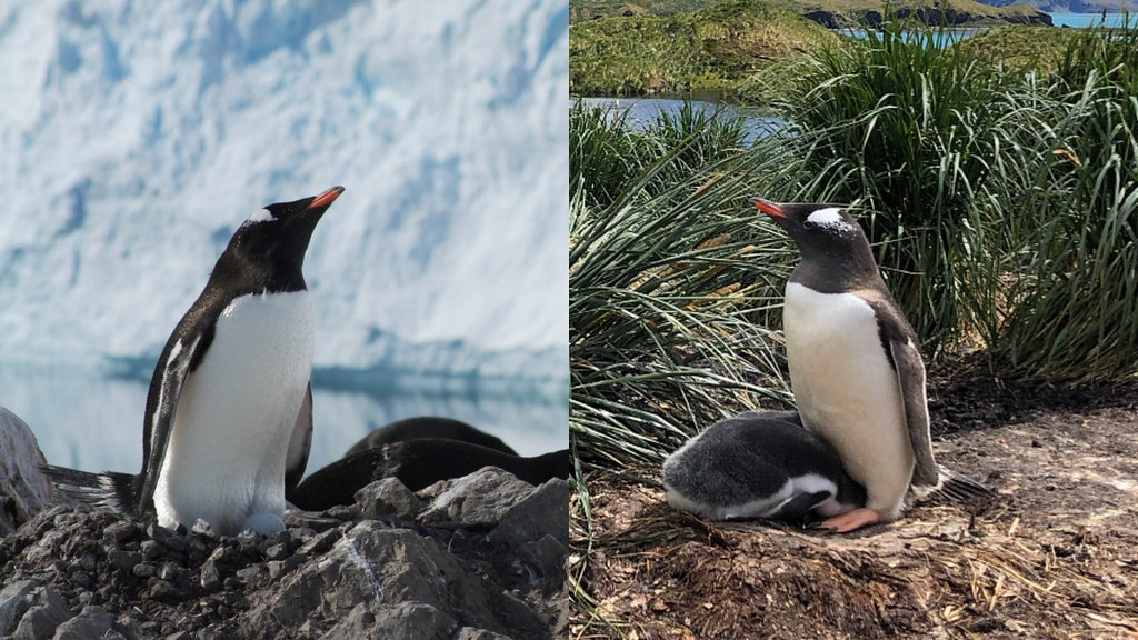 異なる生息地のジェンツーペンギン。非常に似ているが異なる種だった。