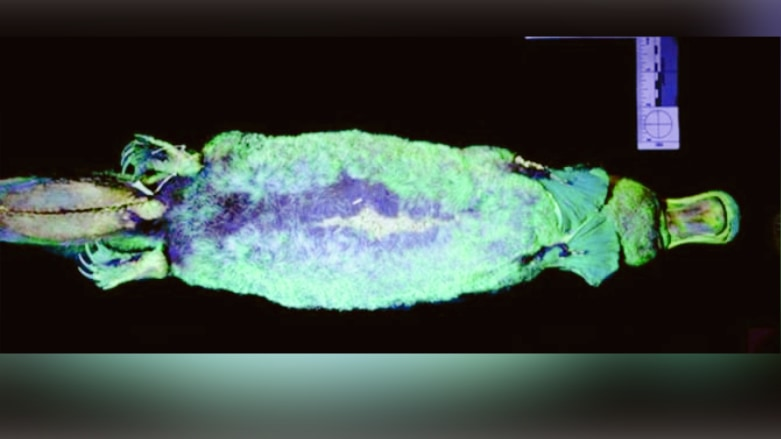 """カモノハシに紫外線を当てると""""シアン色に発光する""""特性を発見!「光る哺乳類」の目的とは?"""