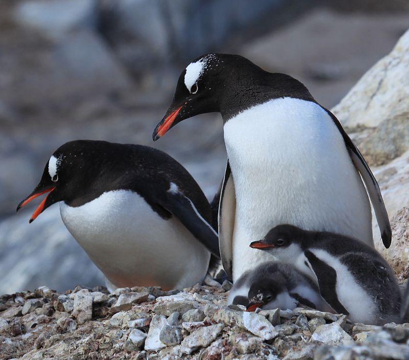 パルマー諸島のジェンツーペンギンの親子。