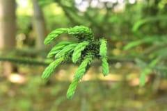 杉の新芽。棘のような葉や鱗のような針葉樹の葉は、強い消化器官がないと食べることが難しい。