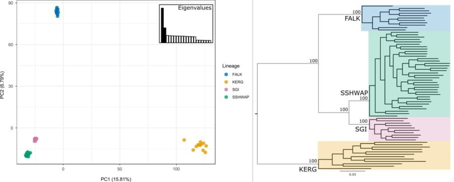 遺伝子データに基づく主成分分析(左)。SNP(一塩基多型)に基づく分析(右)どちらも異なる4種にジェンツーペンギンを分類できる。