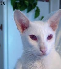 アルビノの猫(瞳の色素も落ちる)