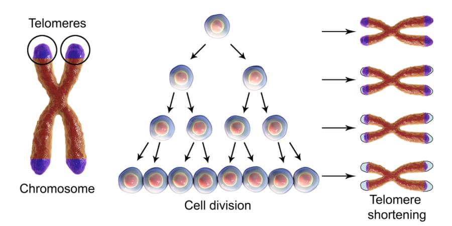 細胞分裂するごとにテロメアは短くなる