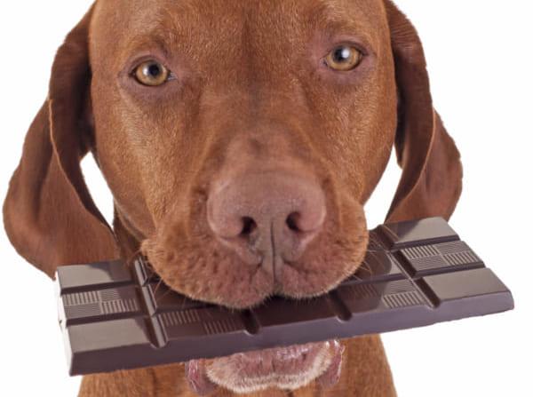犬とチョコレート