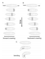 ショウジョウバエ幼虫の逃避パターン
