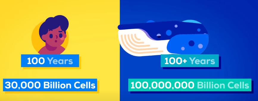 シロナガスクジラは人間の3000倍もの細胞を持つ
