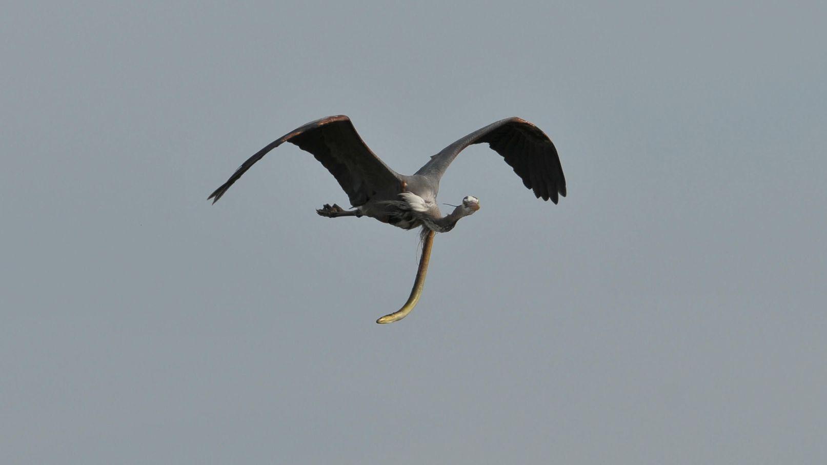 お腹からウナギが飛び出た状態で空を飛ぶ