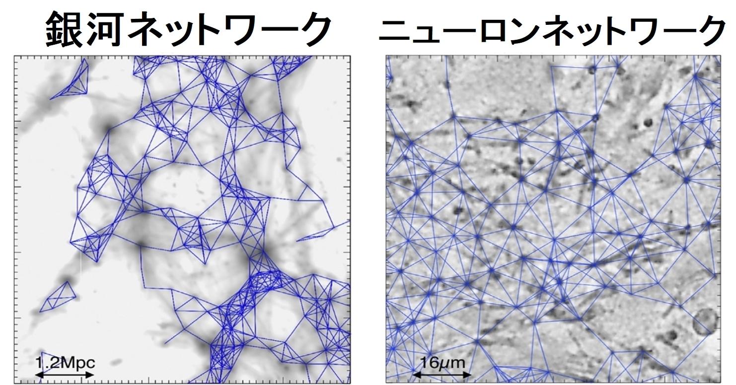 銀河とニューロンのネットワークは数学的に類似している