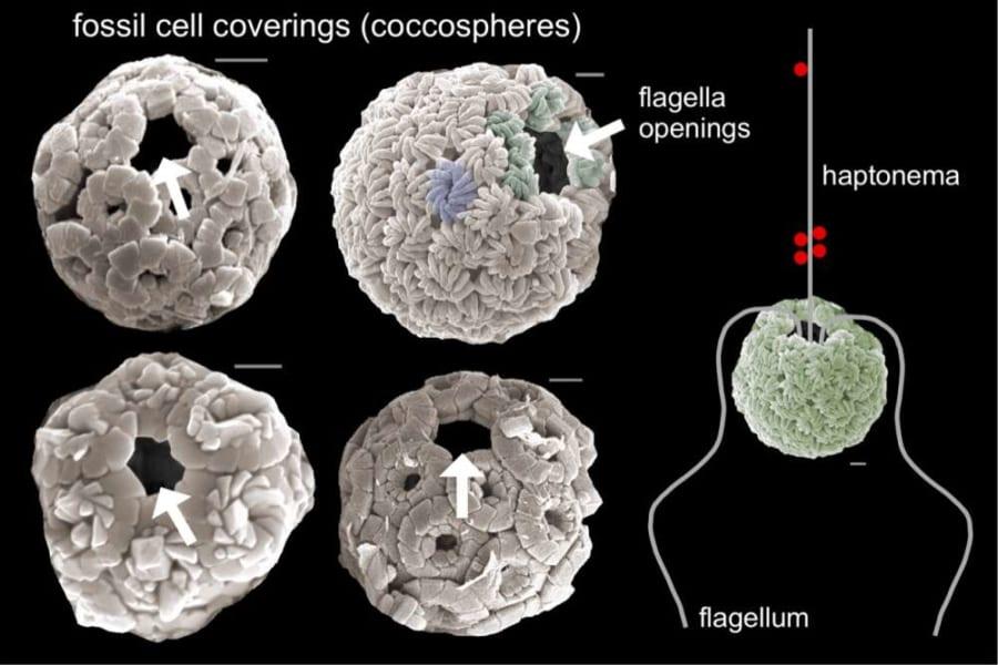 化石化した藻類の走査型電子顕微鏡画像。食物を引き込んだであろう穴の存在が見える。