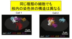 同じ種類の細胞でも染色体の構造は異なっている