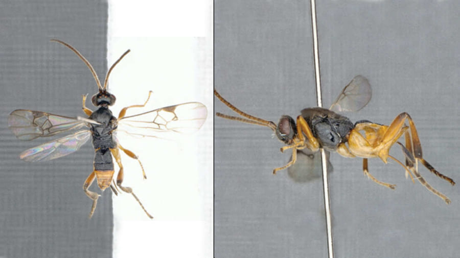 """水中で狩りをする新種「ゴジラ蜂」を日本で発見! 史上初の""""潜水できるハチ"""""""