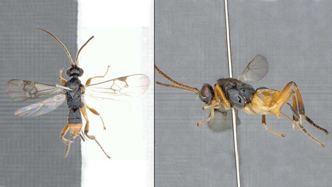 日本原産の新種「ゴジラ蜂」