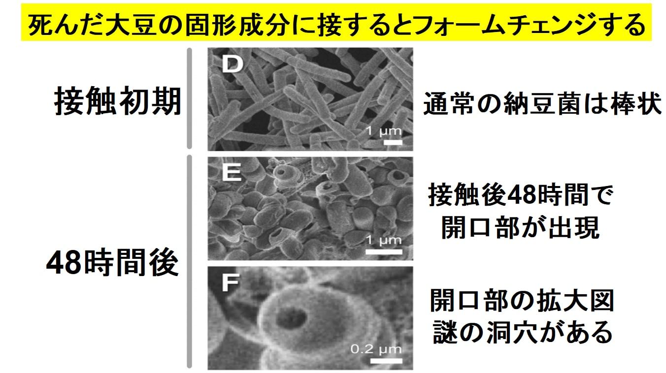 納豆菌は死んだ大豆に反応すると口のような謎の開口部を形成する