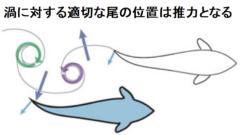渦の運動エネルギーを尾ヒレで受け止め推進力にする。上の図以外にも複数の有効なパターンが存在する