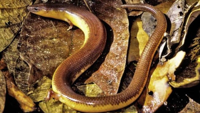 トカゲ→ヘビ→トカゲ? 自在に手足を生やす「トカゲ」の再進化の理由が明らかに