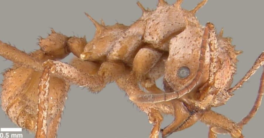 昆虫界初!「天然のボディアーマー」を装着したアリを発見、 戦闘力・抗菌性が格段にUP