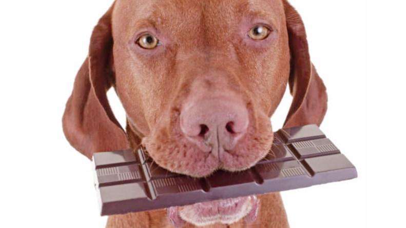 """""""チョコレートが犬にとって猛毒""""なのは、なぜ? 「チョコレート中毒」の原因物質とは"""
