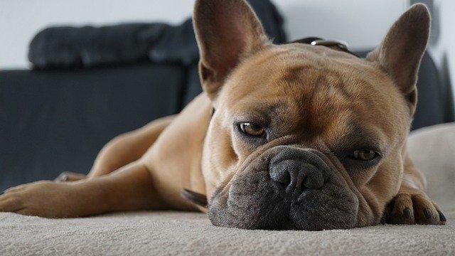 ぐったりした犬。チョコレートは少量でも犬にとってはダメージ。