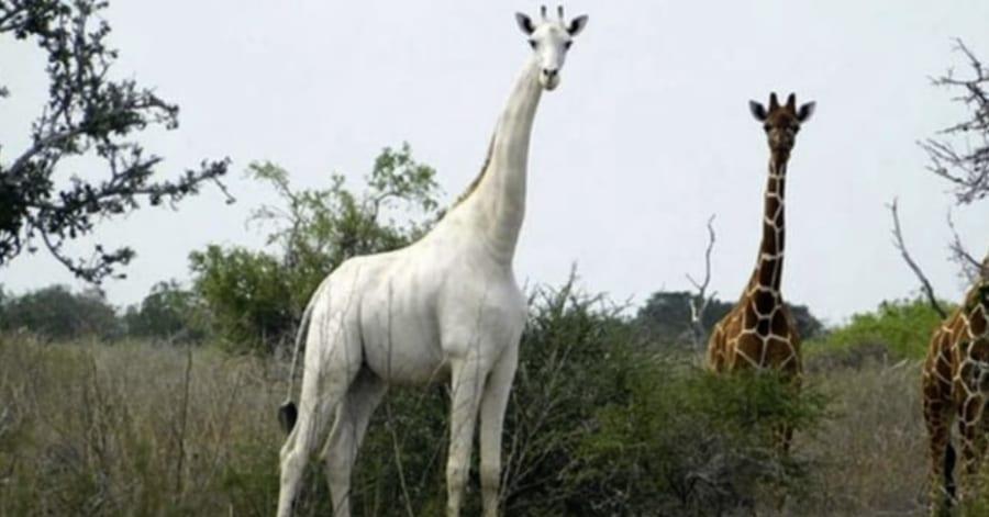 現存する「世界唯一の白キリン」が神秘的、GPSを装着し密猟者対策もバッチリ(ケニア)
