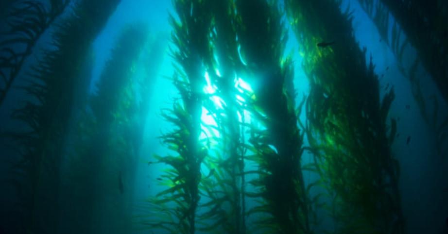 海の酸性化が「コンブ」で止まるかもしれない