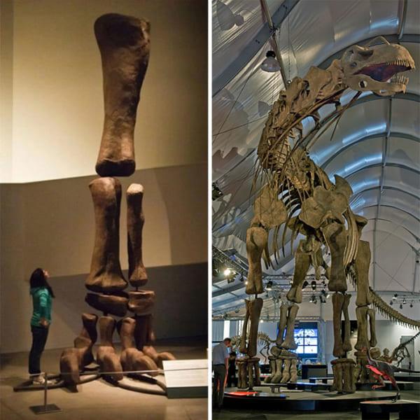 アルゼンチノサウルスの復元骨格