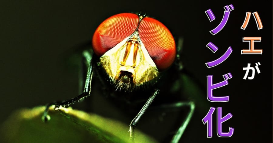 ハエゾンビをつくる恐怖の「ゾンビ菌」が2種類も発見される!