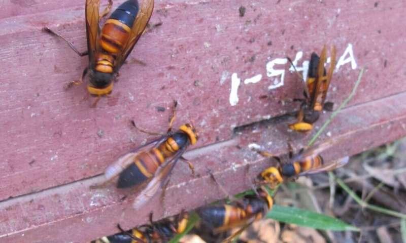 ミツバチの巣にたかるオオスズメバチ